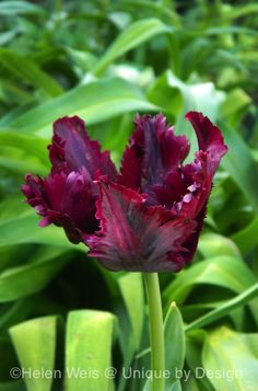 Tulipa 'Black Parrot' Photo by Helen Weis @ Unique by Design.
