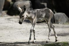 Hani, a baby Somali wild ass, walks at Zoo Miami. Hani's mother Lisha was already pregnant when she arrived in Miami last year from the San Diego Zoo as part of a breeding conservation program. There are fewer than 1,000 Somali wild asses remaining in eastern Africa.