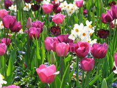 Holland Keukenhof pink tulips with narcissus