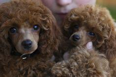 Two of our red poodle puppies, Jimmer and Duke.