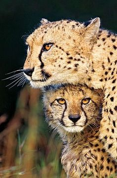 African cheetah mother and cub in Phinda Game Reserve, KwaZulu Natal, South Africa  by Richard Rothstein