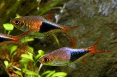 Tropical Freshwater Community Fish | Freshwater Tropical Fish Species: Harlequin Rasboras 2 inches; active schooling fish; may nip fins of slower moving tank mates if not provided enough space; prefer planted tanks. Tags: aquarium, tropical, pet, fish.h