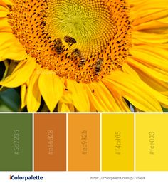 Color Palette Ideas from Sunflower Flower Honey Bee Image Orange Color Palettes, Colour Pallete, Color Combos, Honey Bee Images, Pantone, Painting Corner, Sunflower Flower, Honey Colour, Find Color