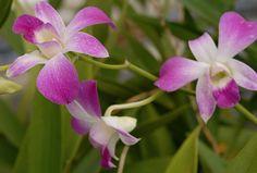 """Las orquídeas hicieron su aparición hace aproximadamente 200 millones de años. Fueron identificadas como """"orquídeas"""" a partir del siglo 1 d.C., por un herborista griego"""