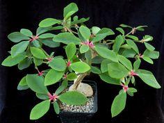 Euphorbia mahabobokensis
