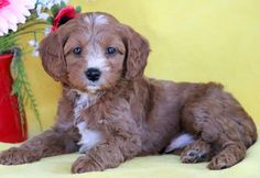 Pictures of our cute male Cockapoo puppy looking for a new home Cute Puppies For Sale, Cute Dogs, Cockapoo Puppies For Sale, Dogs And Puppies, Cute Dog Wallpaper, Mount Joy, Labradoodle, Cavalier, Cute Animals