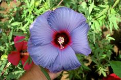 AgriLife Researcher develops a painter's palette of winter-hardy hibiscus colors
