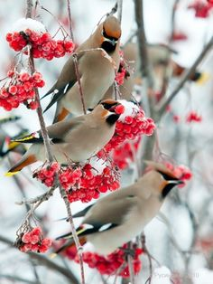 bohemian waxwings  (photo by susana gonzalez)
