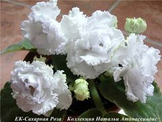 ЕК Сахарная роза