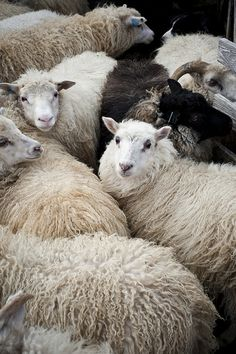 .sheep herd