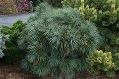Pinus wallichiana Moidart Dwarf, Shrubs, Rabbit, Plants, Bunny, Rabbits, Bunnies, Shrub, Plant