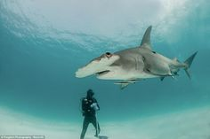 Nick and Caroline Robertson-Brown came face to face with hammerhead sharks off the coast o...