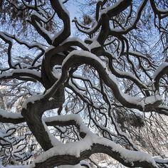 Snow Tree, Upper Dublin, Pennsylvania