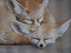 Fennec Fox Baby, Foxes Photography, Cute Fox, Funny Cute, Cute Pictures, Cute Animals, Photos, Creatures, Spirit