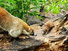 A father #Coatimundi greets its baby in the #RioBravoConservationArea. #BelizeVacationPackages #SabreWingTravel #ProgramForBelize #LaMilpa