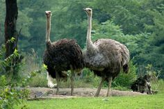 Ostrich Pictures: Ostrich Pair