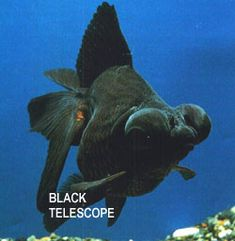 Αποτέλεσμα εικόνας για ψαρι κογκολεζος τιμη