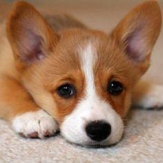 Corgi puppy eyes!