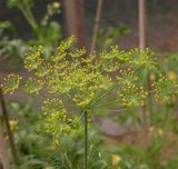 Dill - Tips for Growing and Using
