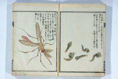 Mosquito and larvae, Kurimoto Tanshu, Senchufu, 1811