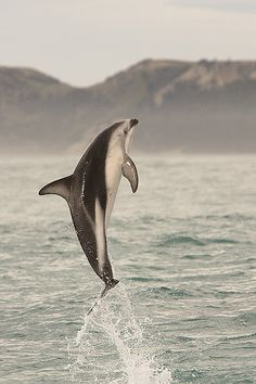 Dusky Dolphin (Lagenorhynchus obscurus) | Flickr - Photo Sharing!