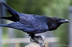 Raven's Wisdom Includes:  Rebirth without fear Ability to tear down what needs to be rebuilt Renewal Ability to find light in darkness Courage of self-reflection Introspection Comfort with self Honouring ancestors Connection to the Crone Divination Change in consciousness New occurrences Eloquence