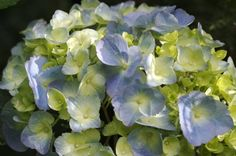 Blue green Hydrangea...pretty color combination!
