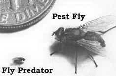 Predator Wasps for Horse Farm Fly Control