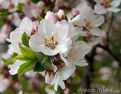 Flowering Nanking Cherry