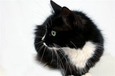 My little girl - Maya, the long-hair tuxedo cat <3