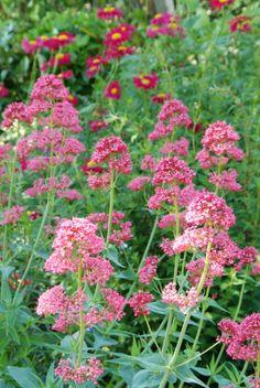 Pretty in pink. Green Garden, Herb Garden, Garden Plants, Sensory Garden, Romantic Cottage, Garden Images, Backyard Makeover, Drought Tolerant, Garden Inspiration