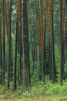 images of woodland pines   Woodland view in a pine forest