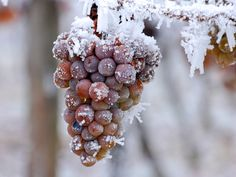 Kick off the Ice Wine Festival with a progressive dinner event using mostly local meats, fruits, and vegetables from some of our neighboring farms. Wine Lovers, Wine Images, Frozen Grapes, Progressive Dinner, Wine Vineyards, Wine Education, Healthy Vegan Snacks, Sweet Wine, Vitis Vinifera