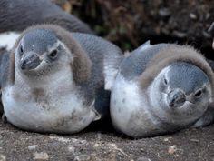 """Magellan-Pinguine auf der """"Isla Martillo"""" in Feuerland."""