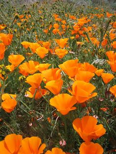 L.A. Places: Antelope Valley Poppy Reserve - Bright orange California poppies bloom at the Antelope Valley Poppy Reserve, located in northern Los Angeles County, from late February through early May usually peaking in mid-April. Poppies are native to the Mojave Desert Grassland climate of the Antelope Valley and the Poppy Reserve does not plant, cultivate, or water the wildflowers.