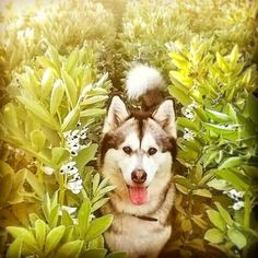 Our favorite place ❤ #leah #malamute #dog #pet #alaskanmalamute #malamutesofinstagram #sleddog #snowdog #cute #cutepetclub #sendadogphoto #mygirl #fields #nature #flowers #dogs #dogsofinsta #petsofinstagram #dogmom #petoftheday #petoftday #dogfeatures #pretty #woof #bestwoof  #barkbox #doglife #walkies