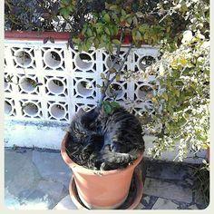 Y de repente durmiendo la siesta me planteé la terrible posibilidad de que las plantas de mi ama fueran carnívoras! Felizmente desperté y todo seguía igual aunque nunca hay que fiarse de los humanos..... Firmado: Darwin. #gatos #cats #siesta #nap #sleeping #dormir #animales #animals #domesticanimals #plants #plantascarnivoras #jardin #relatocorto #shortstory #pesadilla #garden #fiction #ficcion #carnivorousplants #lovescats by agmacoustic