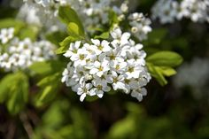 Retusa fringetree flower close-up, Anseong, South Korea