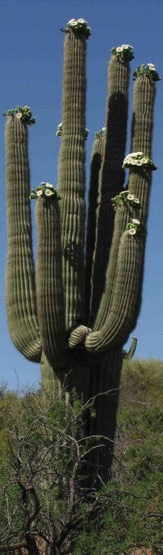 Large Cactus Plant with Flowering Tips - Long, Tall, Vertical Pins.