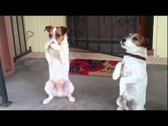 Two Talented Jack Russell Terriers. Have to teach my Reggie to do this!