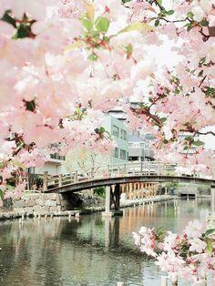 Bridge, Sakuras in bloom, Japan