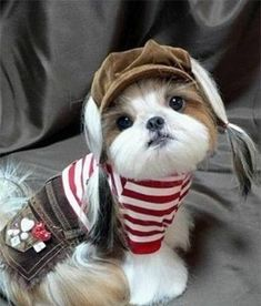 Cute Dogs and Cats: Top 5 Best Dog Breeds for indoor pets Perro Shih Tzu, Shih Tzu Puppy, Shih Tzus, Maltese Shih Tzu, Animals And Pets, Baby Animals, Funny Animals, Cute Animals, Cute Puppies
