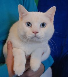 Sebastian is a big, lovable, 17-pound sweetheart now ready for adoption at Nevada SPCA (www.nevadaspca.org).  He has stunning blue eyes and a snow-white coat and he's about 5 years of age and neutered.  Sebastian is a confident boy who enjoys watching people and learning about human behavior.  He is good with cats too.  We rescued him from another shelter.  Please visit and ask for Sebastian by name.