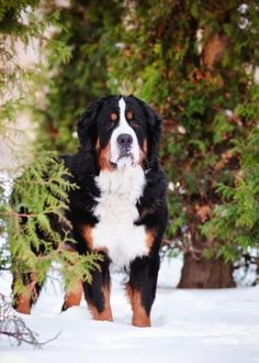 Stunning portrait of a Bernese Mountain Dog