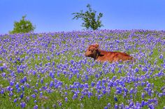 Calf Nestled in Bluebonnets - Texas Wildflowers Landscape Cow by Jon Holiday Cute Baby Cow, Baby Cows, Cute Cows, Baby Elephants, Fluffy Cows, Fluffy Animals, Pretty Animals, Cute Little Animals, Cute Creatures