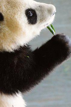 Panda cub Xiao Liwu at the San Diego Zoo.