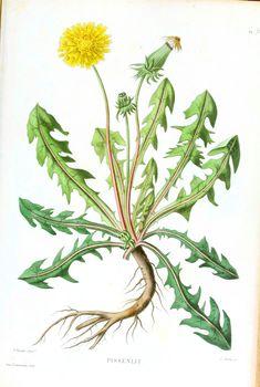 Botanical - Flower - Dandelion (2)