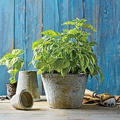 1406 Plant a Basil Herb Garden