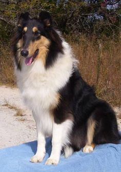And one day I want a tri-colored collie too!