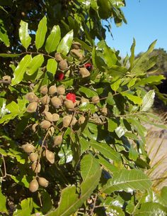 Alectryon excelsus Titoki Trees And Shrubs, Trees To Plant, Landscaping Plants, Landscaping Ideas, Wellington City, Red Fruit, Medicinal Plants, Homeopathy, Health And Wellbeing